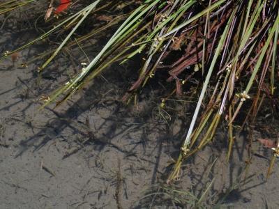 倒伏した有花茎にみられる芽生