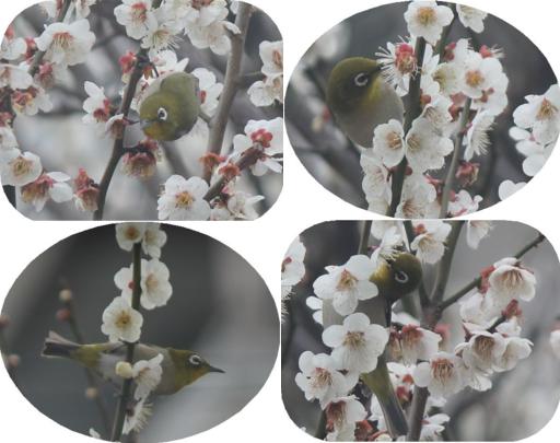 ①メジロと梅の花