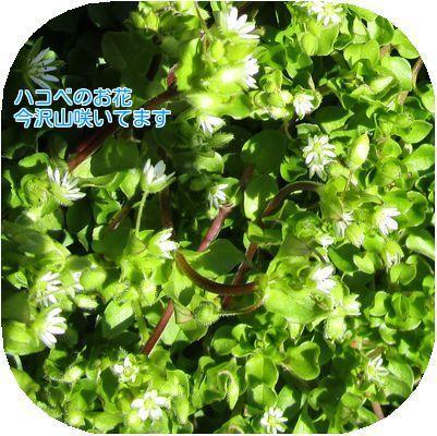⑤ハコベの花