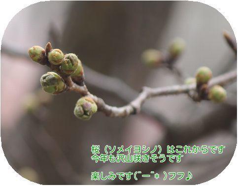 ④ソメイヨシノ