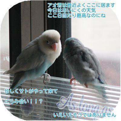 ④アオとサト