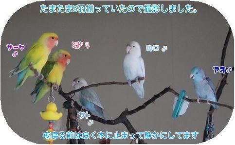 ⑤5羽揃い