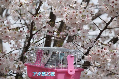 ①アオと桜