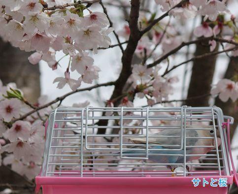 ②サトと桜