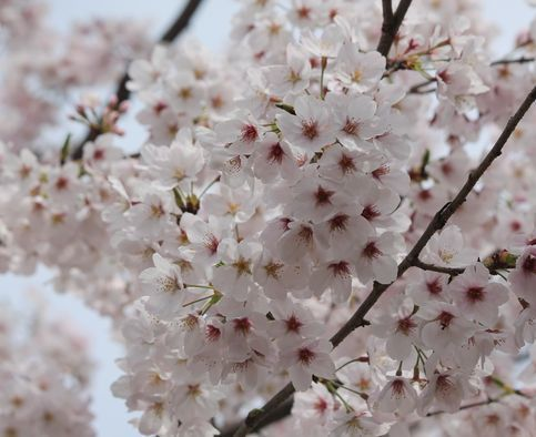 ④最後の桜