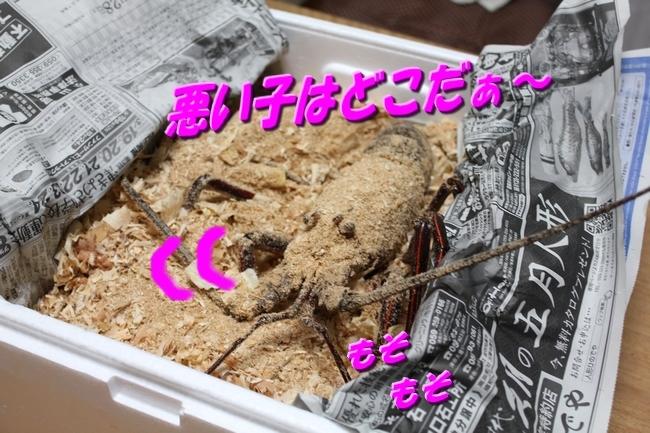伊勢海老 006