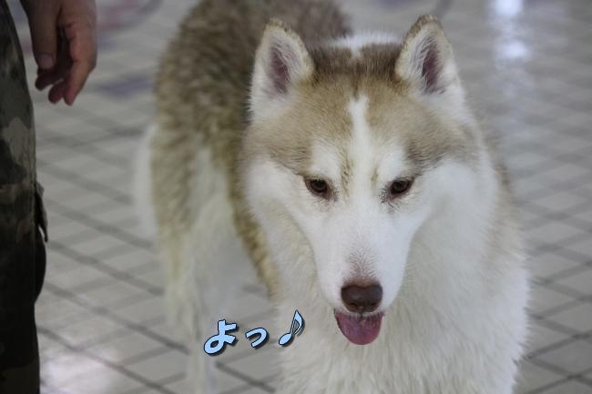 ティアナちゃんハスキー犬やくもちゃんつぶちゃん 182