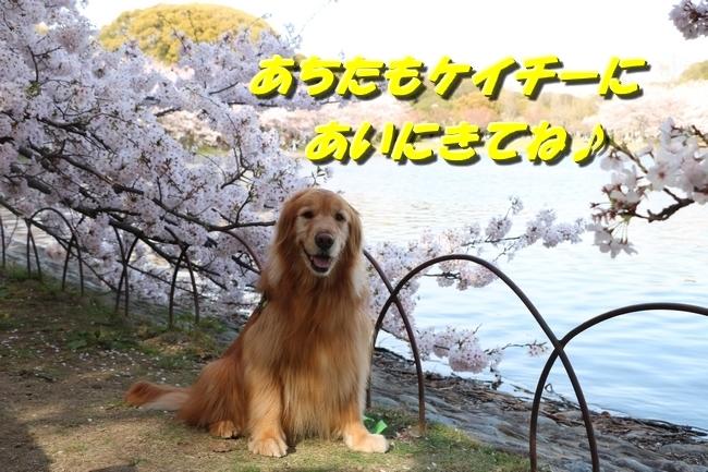 明石城公園桜2016 117