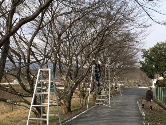 sakura_teire2017_002.jpg