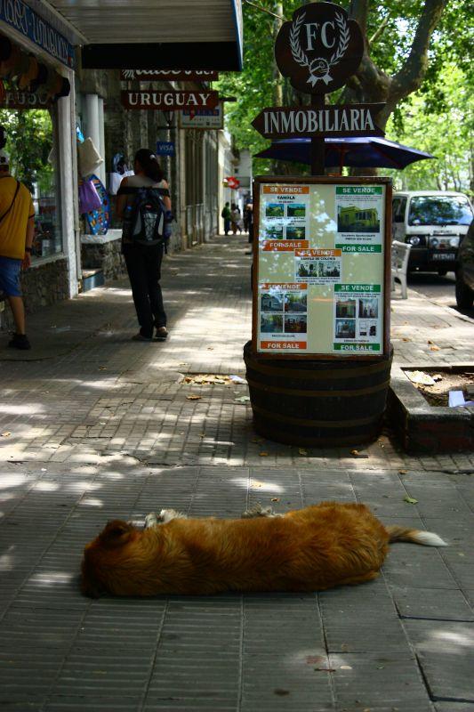 ウルグアイ犬
