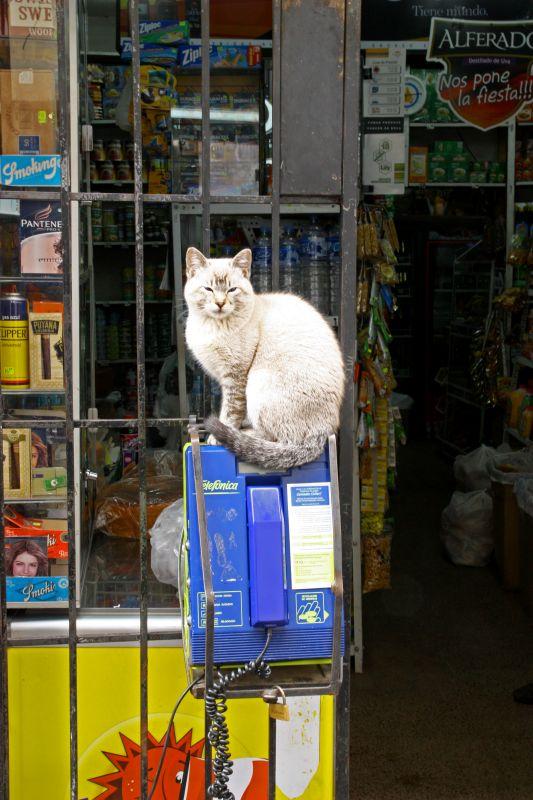 クスコの猫