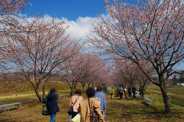 2017-03-22 北浅羽 安行寒桜 032