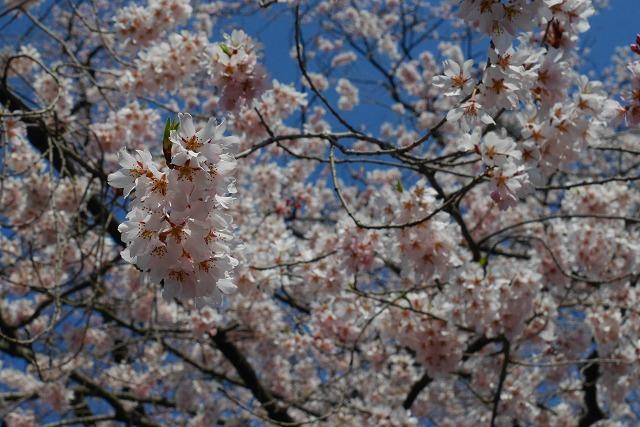 2017-03-25 中院 しだれ桜 027