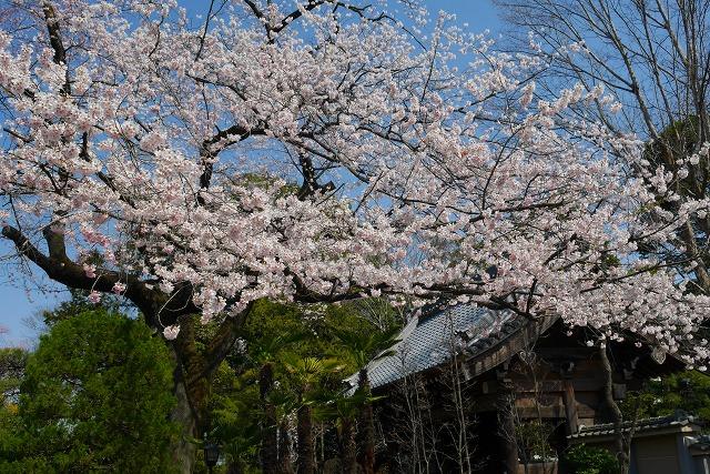 2017-03-25 中院 しだれ桜 005