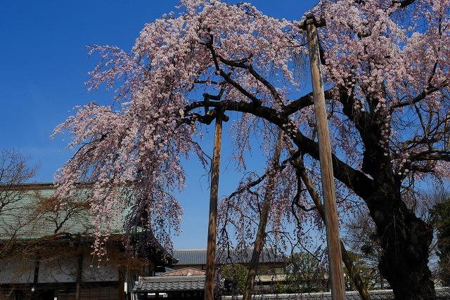 2017-03-25 中院 しだれ桜 048