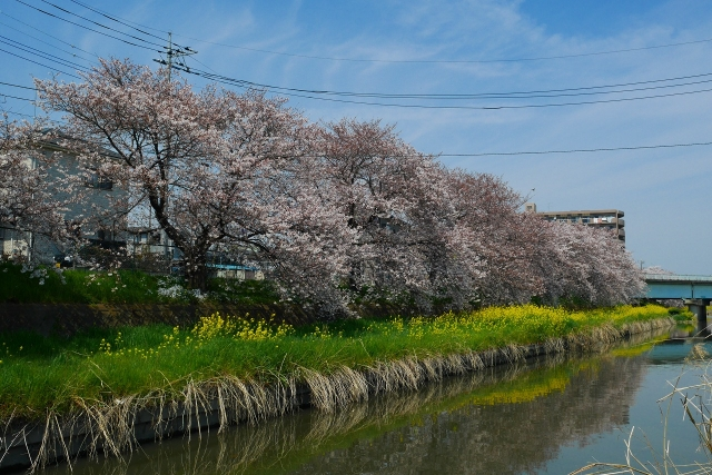 2017-04-05 川越の桜 070