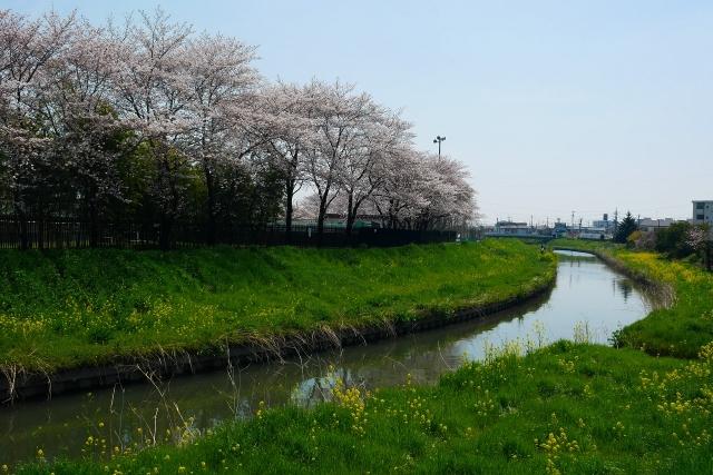 2017-04-05 川越の桜 061