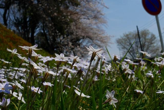 2017-04-05 川越の桜 047