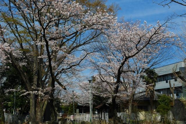2017-04-05 川越の桜 168