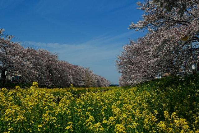 2017-04-05 川越の桜 120