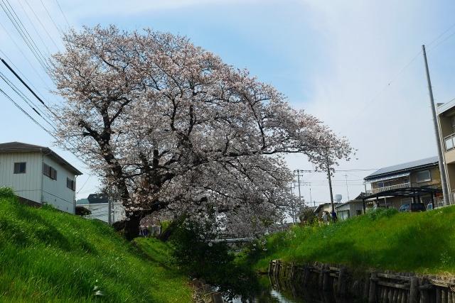 2017-04-05 川越の桜 203
