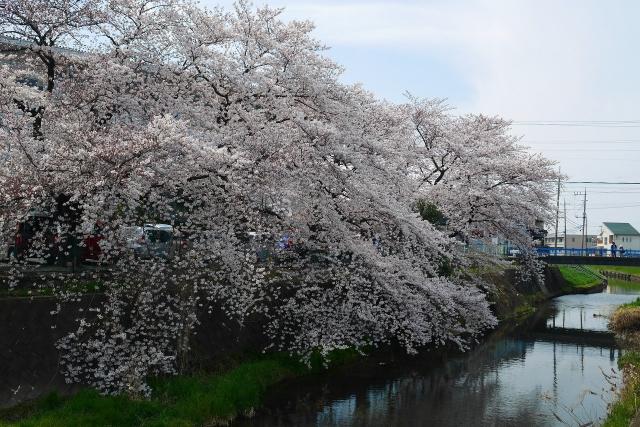 2017-04-05 川越の桜 187