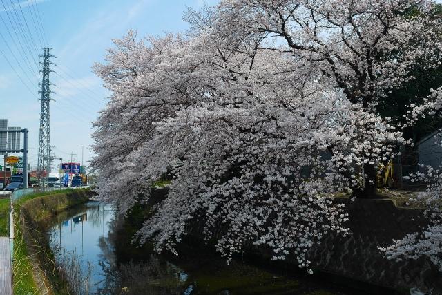 2017-04-05 川越の桜 185