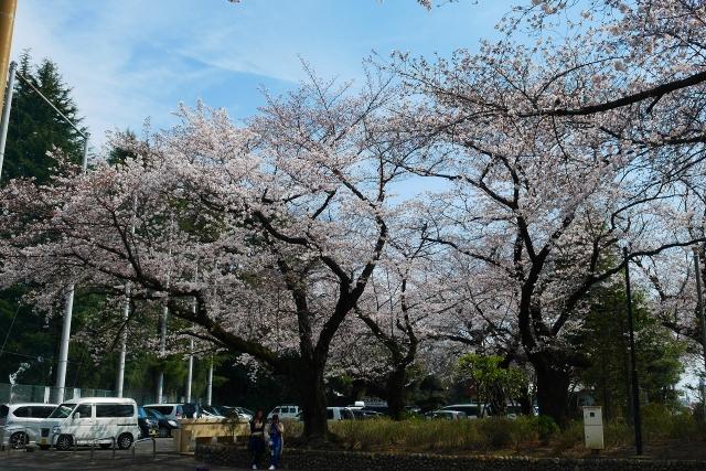 2017-04-05 川越の桜 177