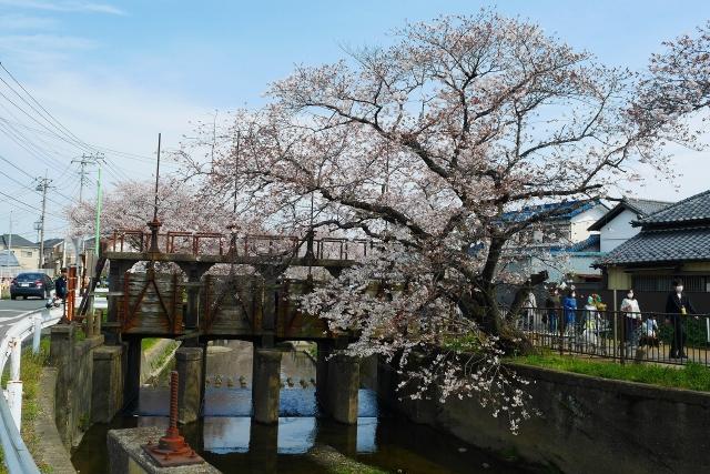 2017-04-05 川越の桜 237