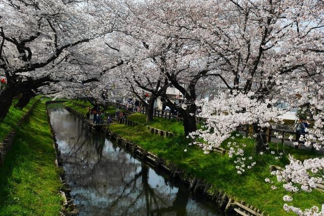 2017-04-05 川越の桜 219