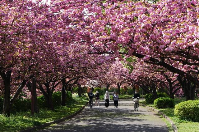 2017-04-19 川越水上公園 八重桜 051