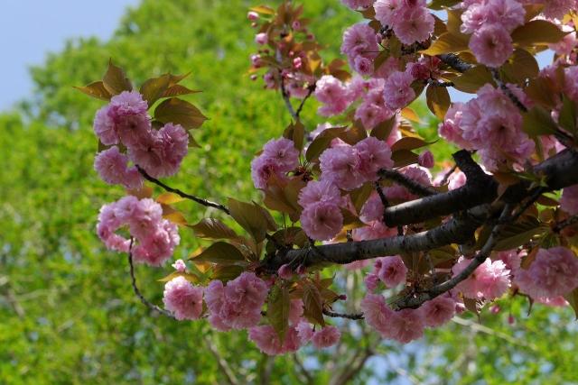 2017-04-19 川越水上公園 八重桜 039
