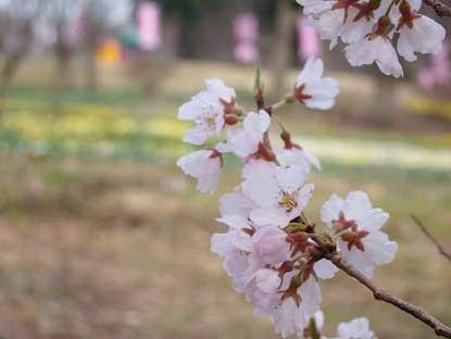 東那須公園桜2017コピー