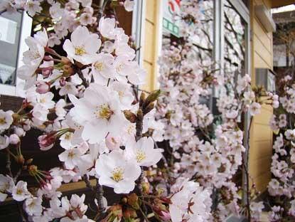 事務所前桜のアップ