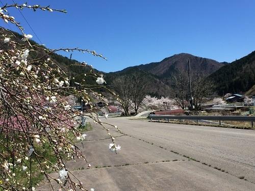 たくさん 花の木