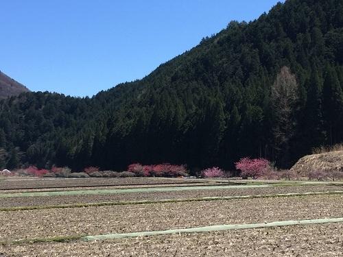 桃の木がずっと