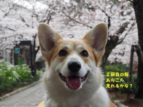 2回目の桜