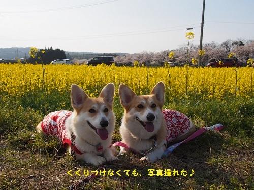 菜の花と1