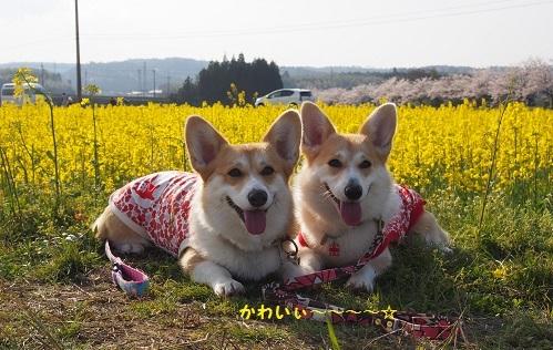 菜の花と2