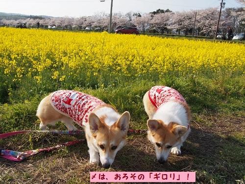 菜の花とギロリ