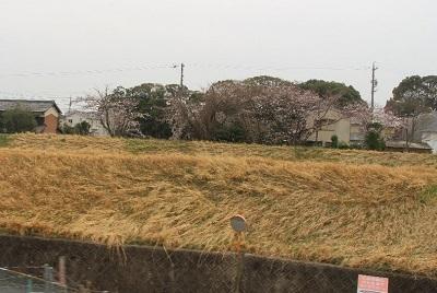 64土手の桜400