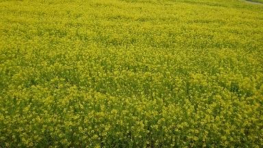 20170325菜の花