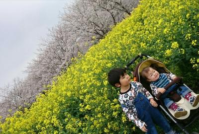 桜と菜の花 ゆうととりく 1