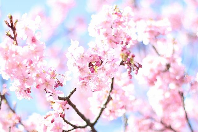 IMG_3333河津桜