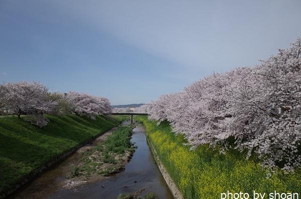170409佐保川の桜