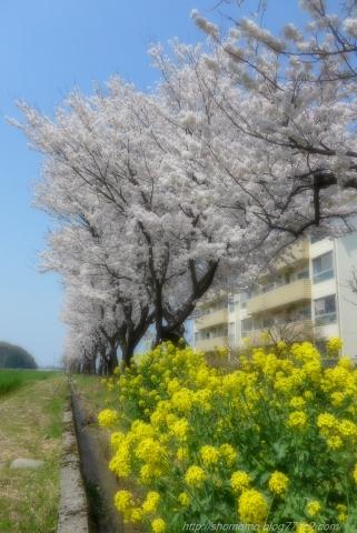 140414SAKURA_13.jpg