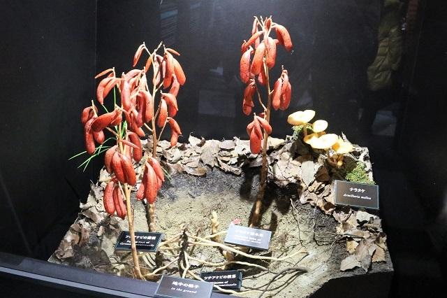 特別展示「光を愛する蘭と地中に息づく蘭(ツチアケビ)