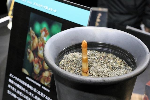 特別展示「光を愛する蘭と地中に息づく蘭(エラータ)