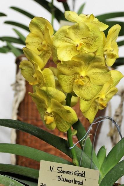 """V.Somsri Gold """"Blumen Insel"""""""