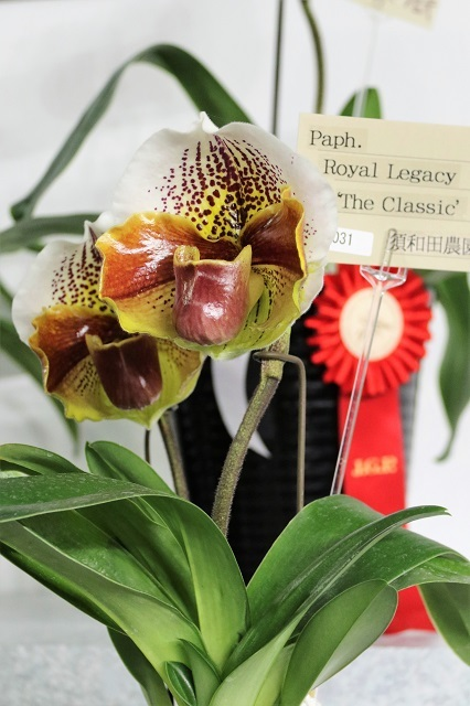 "Paph.Royal Legacy ""The Classic"""